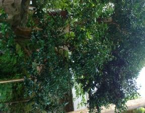 北限の椿 石垣の隙間から生えている 樹齢は分からない
